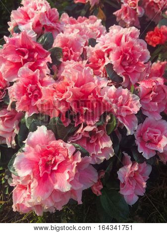 many  lovely beauteous superb fair gorgeous  large flower azalea