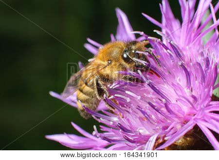 A bee collecting pollen, close-up bee on pink flower collects nectar