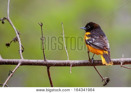 Norther Oriole (Icterus galbula) perched on a branch in spring time.