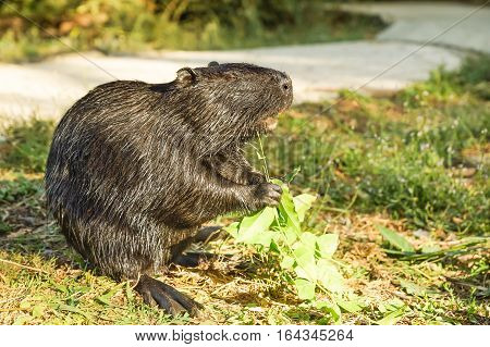 Nutria or coypu or swamp beaver (lat. Myocastor coypus) a mammal of the rodent the only species of the family natrievyh (Myocastoridae)