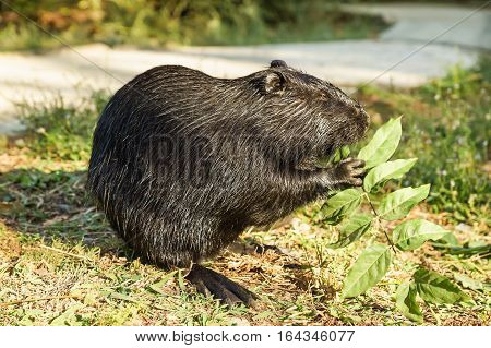 Nutria or coypu or swamp beaver (lat. Myocastor coypus) a mammal of the rodent eats the leaves