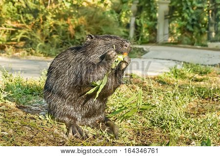 Black Nutria or coypu or swamp beaver (lat. Myocastor coypus) a mammal of the rodent eats green leaves.