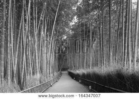 Black and White Bamboo forest and walking way leading to jungle nautural landscape background
