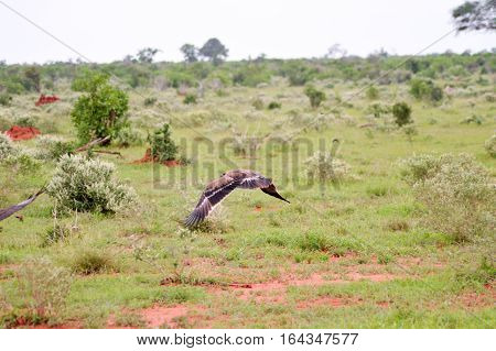 Eagle fasciate in flight over the savannah in the park of Tsavo East