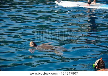 BALI, CRETE - SEPTEMBER 16, 2016 - Carretta Carretta turtle (also known as Loggerhead turtle) in the harbour with a man snorkelling in the corner Bali Crete Greece Europe, September 16, 2016.