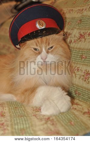 Auburn handsome cat in a cap resting