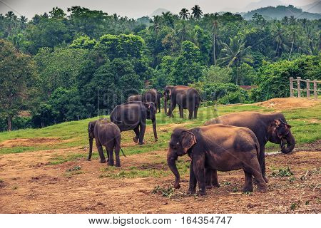 Sri lanka: group of elephants in Pinnawala, the largest herd of captive elephants in the world