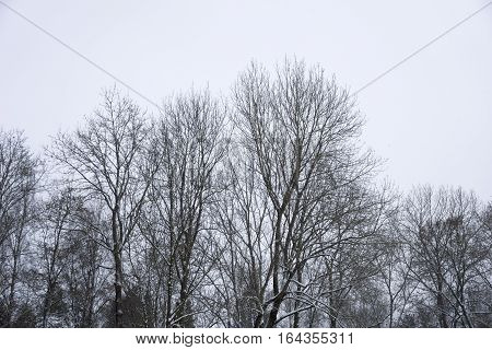 Closeup of some treetops on a cold Winter Day