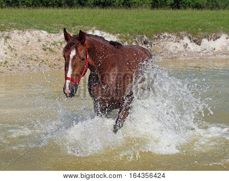 Satisfied chestnut horse lifts splashes in a pond