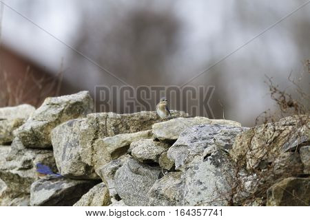 Alert Eastern Bluebird female perched on stone wall