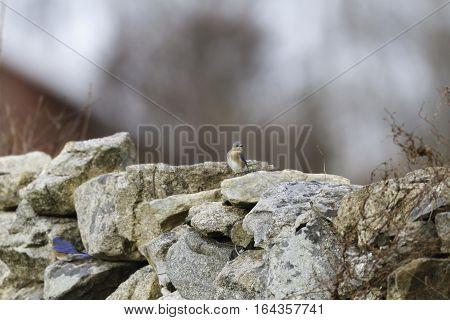 Alert Eastern Bluebird female perched on stone wall