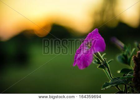 Purple petunia flower against the background of sunset. Petunia axillaris