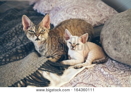 Portrait of a cute and funny Devon Rex cats - mother with her small baby kitten cats are laying down on the bed together. Cats feeling relaxed and comfortable looking at camera. Cat breeds litter