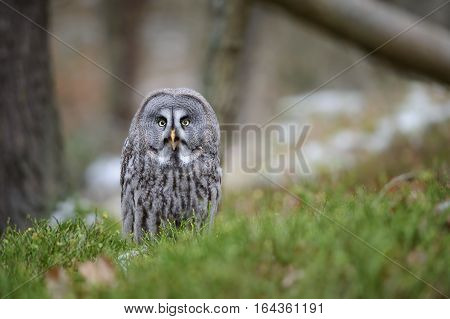 Great grey owl in the forest on green grass