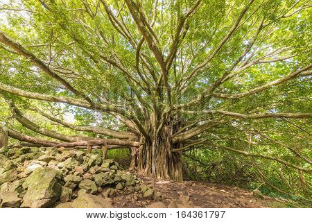 a huge banyan tree in Haleakala national park near Hana Maui
