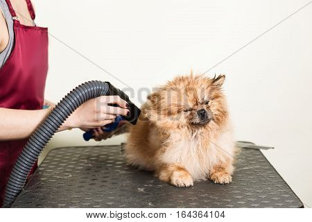 Pomeranian spitz in dog salon.Female hands using hair dryer on cute dog in salon.