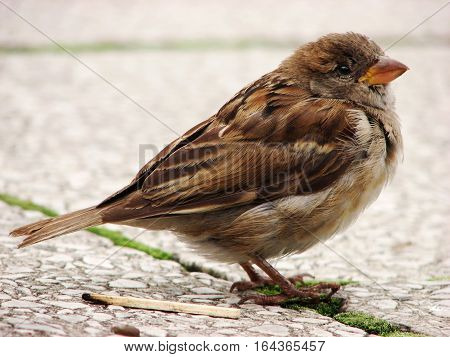 Female sparrow standing on stone floor next to a burnt-our matchstick