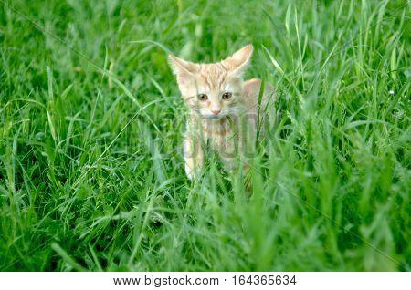 The little orange kitten walking in grass