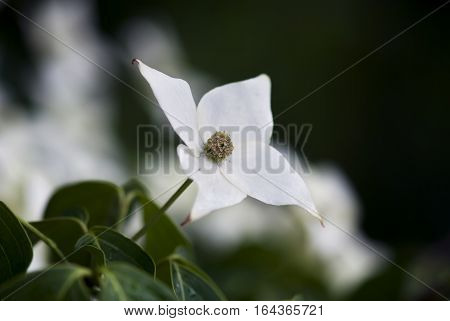 A white dogwood flower blooms in springtime.