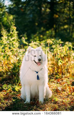Funny White Samoyed Dog sit Outdoor in green bushes in park. Popular  medium size breeds.