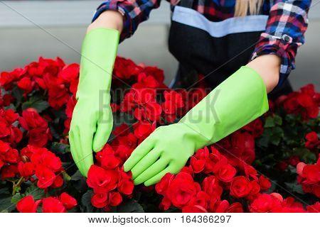 Gardener in green gloves, caring for potted flower plantation, hands close-up.