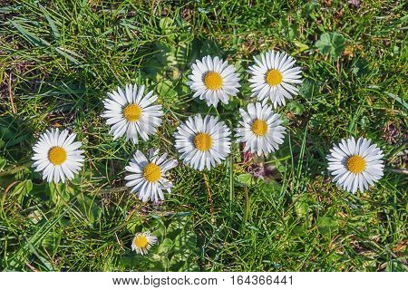 Group of beutiful daisies on the grass.