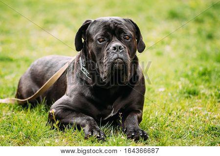 Black Young Cane Corso Dog Sit On Green Grass Outdoors. Big Dog Breeds. Summer Season. Close Up