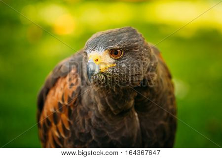 The Harris's hawk , Parabuteo unicinctus, formerly known as the bay-winged hawk or dusky hawk, is a medium-large bird of prey that breeds from the southwestern United States south to Chile and central Argentina.