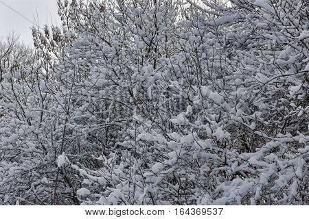Branches of trees and shrubs abundantly covered with snow. Winter