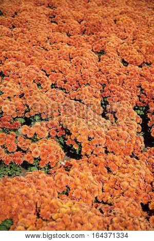 Orange chrysanthemum. orange chrysanthemum bunch seamless background pattern