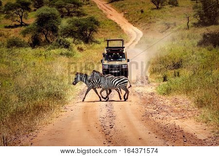 Africa, Tanzania - February 2016: Zebras on the road in Serengeti national park in front of the jeep with tourists.