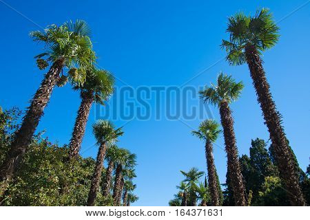 Two row palm trees against the sky