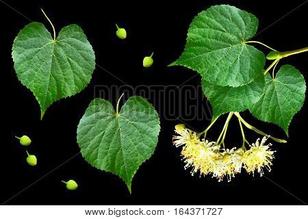 Sprig of linden blossoms isolated on black background.