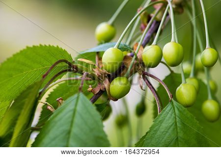 The unripe cherry branch in natural light