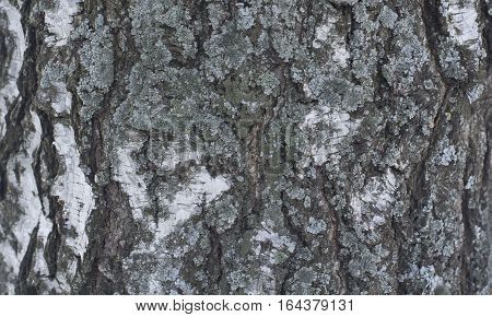 Horizontal Background Pattern with Texture of Old Birch Bark with Moss and Lichen. Detailed Natural Timber Texture of Wood Material.