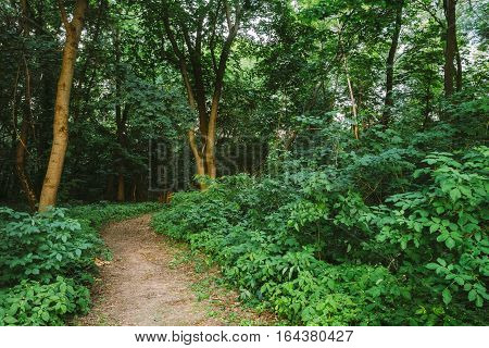 The Summer Landscape With Forest Path Going Ahead Through Bright Green Bushy Growth Of Small-Flowered Touch-Me-Not Or Impatiens Parviflora Under Tree Crowns Of Greenwood.