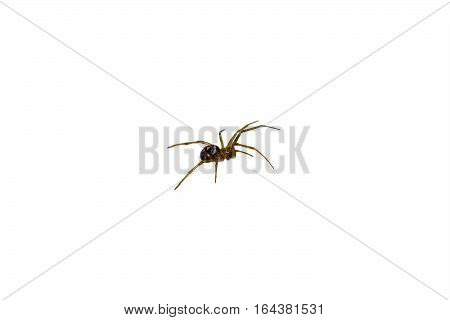 A small spider isolated on white background