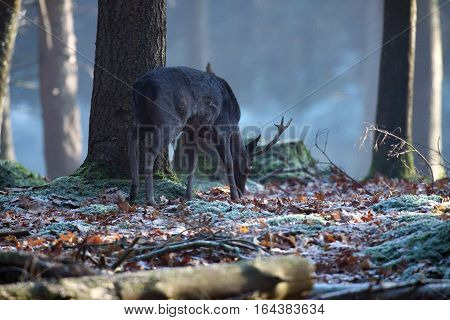 Foraging fallow deer stag in a forest.