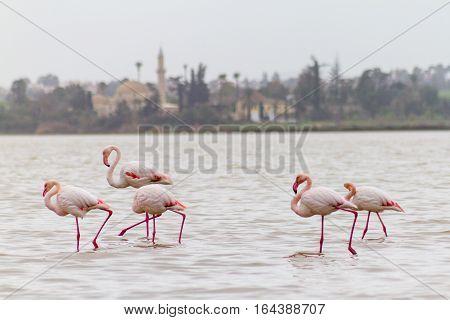Walking Flamingos And Hala Sultan Tekke At Larnaca Salt-lake, Cyprus