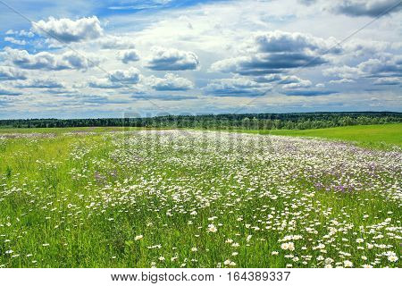summer landscape with a field blue sky and white clouds. flowers camomiles on meadow