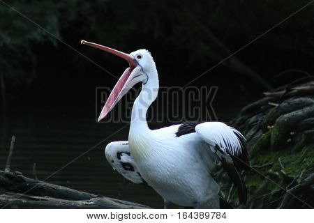 A pelican screeches in the wilderness of Australia