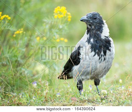 Hooded Crow (aka hoodie) - Corvus corone cornix