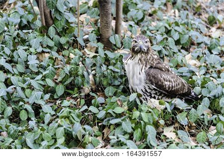 Red-tailed Hawk pauses to make eye contact during search of Central Park ground cover