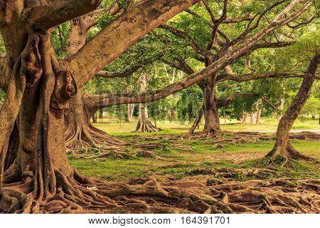 Sri Lanka: beautiful Royal Botanic Gardens, Peradeniya, Kandy