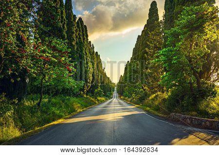Bolgheri famous cypresses trees straight boulevard landscape. Maremma landmark Tuscany Italy Europe.