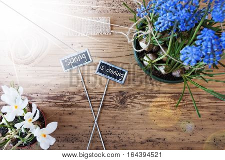 Two Signs With English Text Spring Is Coming. Sunny Spring Flowers Like Grape Hyacinth And Crocus. Hemp Fabric Ribbon. Aged Wooden Background