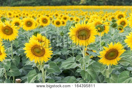 beautiful blooming sunflower field agriculture plant in Lop buri Thailand