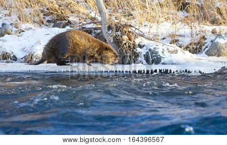 Beaver walking on the edge of an icy river in winter with snow and icicles.