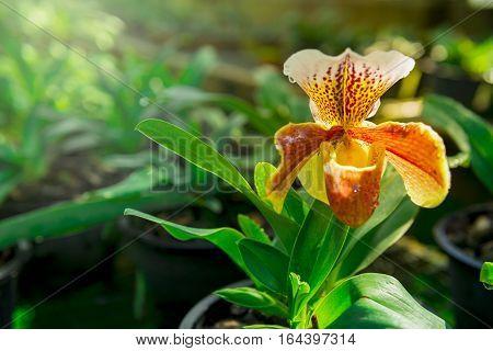 Orange Paphiopedilum Orchid