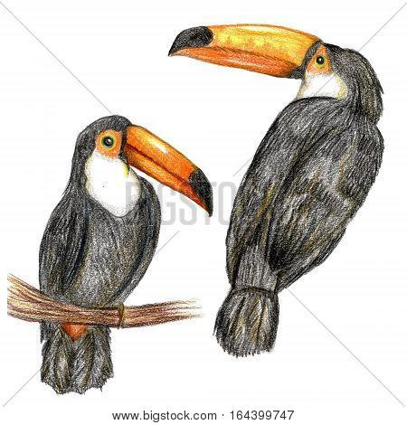 Raster realistic pencil set of a couple of toucans isolated on white. Design element, biological illustration